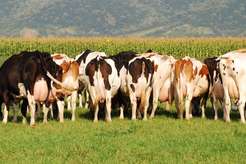 Groep Koeien die op gebied - achter beeld weiden stock afbeelding