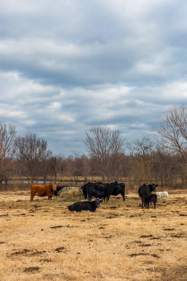 Groep koeien die rond een hooivoeder/landbouwbedrijfdieren eten royalty-vrije stock foto's