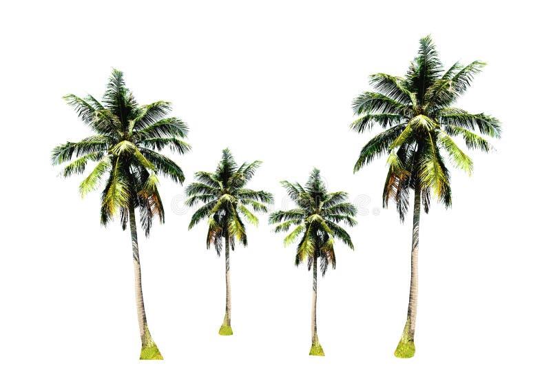 Groep kokosnotenpalmen op witte achtergrond, tropische fruitteelt omhoog op het overzeese strand in Phuket, zuiden wordt geïsolee royalty-vrije stock afbeelding