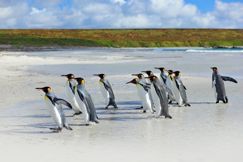 Groep koningspinguïnen die samen van overzees aan strand met golf terugkomen een blauwe hemel, Vrijwilligerspunt, Falkland Island stock foto