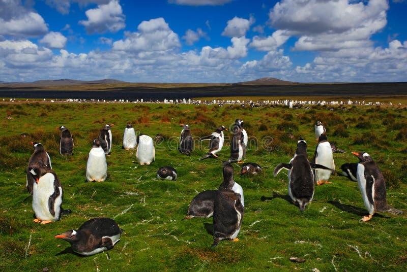 Groep koningspinguïnen in het groene gras Gentoopinguïnen met blauwe hemel met witte wolken Pinguïnen in de aardhabitat vogels royalty-vrije stock afbeeldingen