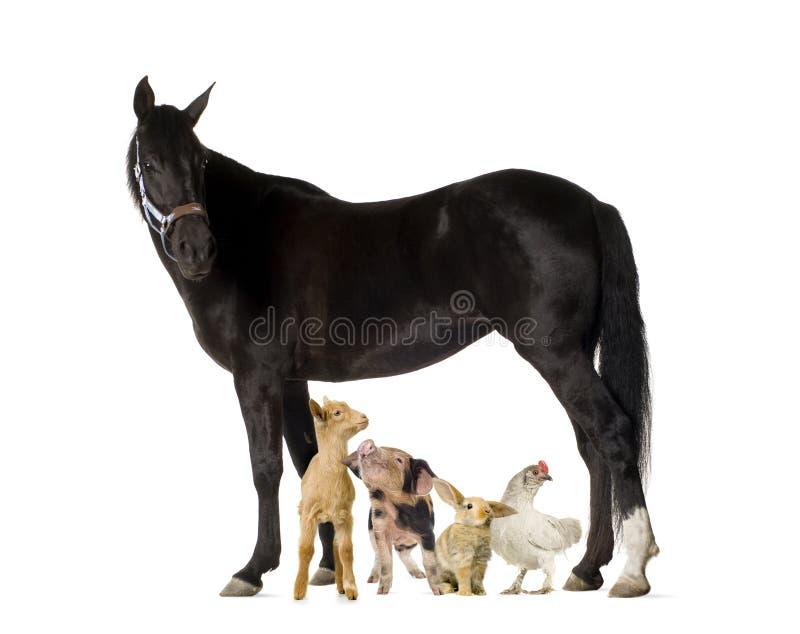 Groep landbouwbedrijfdieren op wit wordt geïsoleerd dat stock afbeeldingen