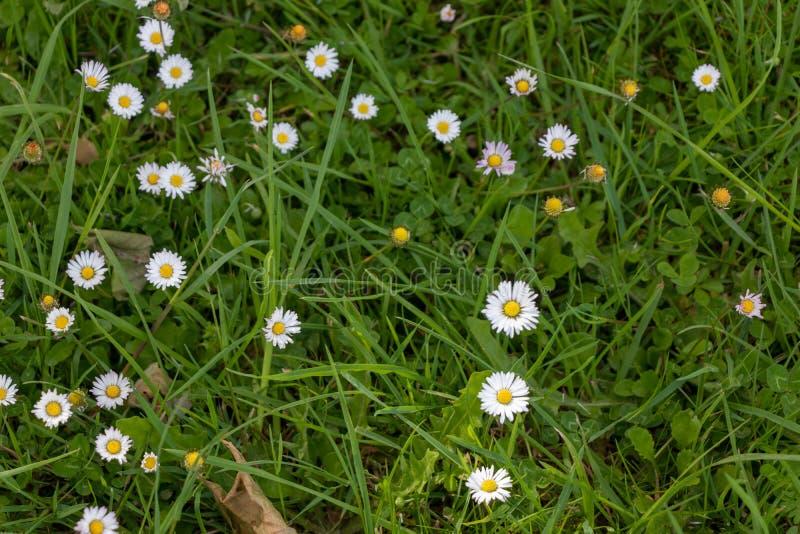 Groep madeliefjes en wilde bloemen op het gras De lentebeeld stock fotografie