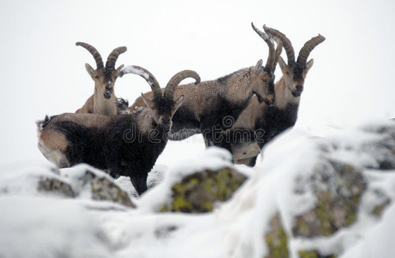 Groep mannelijke berggredos stock afbeeldingen