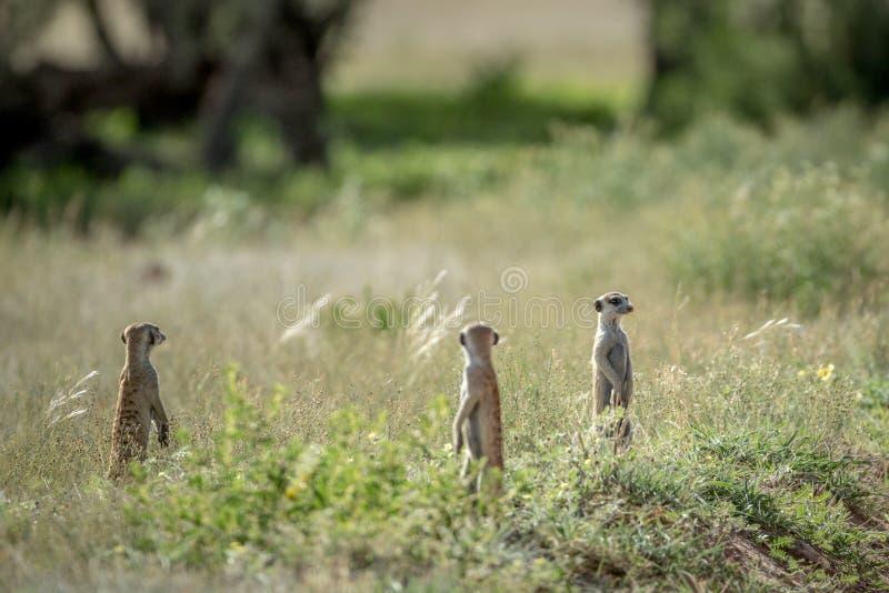 Groep Meerkats op de blik uit stock afbeeldingen