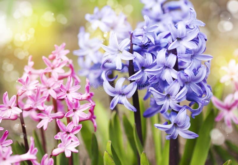 Groep mooie multicolored hyacinten royalty-vrije stock afbeelding