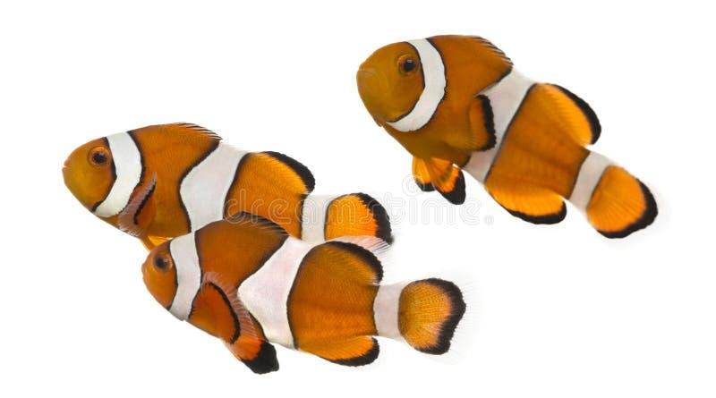 Groep Ocellaris clownfish, Amphiprion-geïsoleerde ocellaris, stock afbeelding
