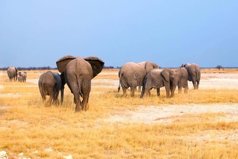 Groep olifanten grote en kleine welpen op geel gras en blauwe hemelachtergrond in het Nationale Park van Etosha, Namibië, Zuid-Af royalty-vrije stock foto