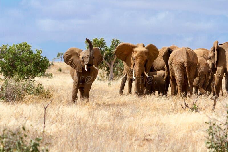 Groep olifanten in Savana, het Nationale Park van Tsavo, Kenia stock afbeeldingen