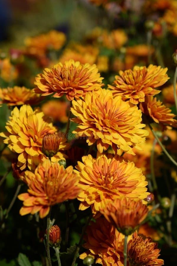 Groep oranje die chrysanten door de zon worden verlicht stock afbeelding