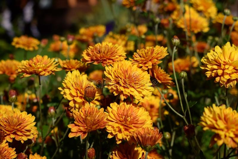 Groep oranje die chrysanten door de zon worden verlicht royalty-vrije stock afbeeldingen