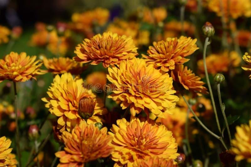 Groep oranje die chrysanten door de zon worden verlicht royalty-vrije stock foto
