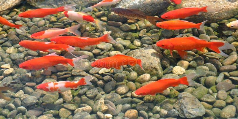 Groep oranje koi stock fotografie