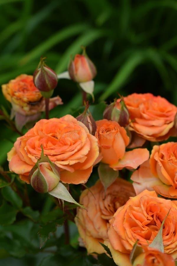Groep oranje rozen royalty-vrije stock foto's