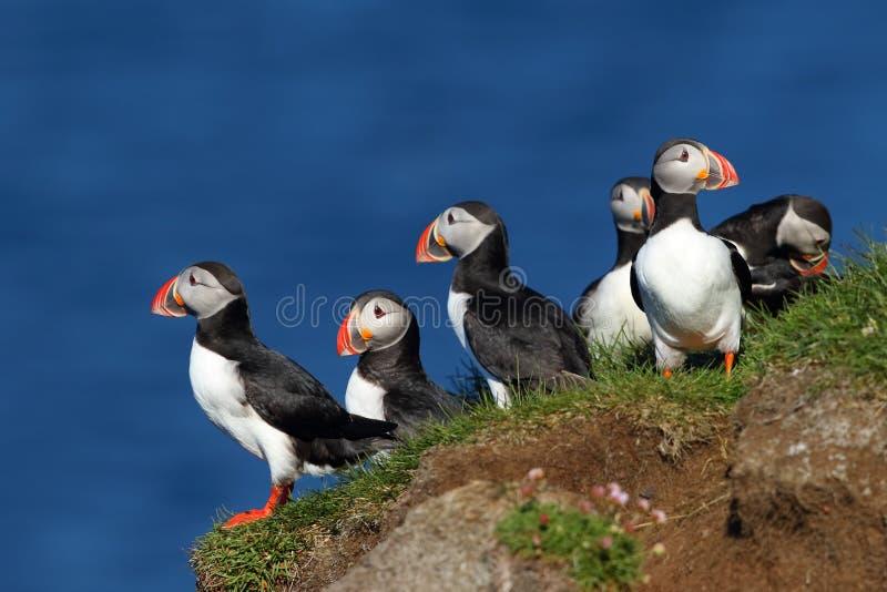 Groep papegaaiduikers in Latrabjarg-klippen in IJsland stock fotografie