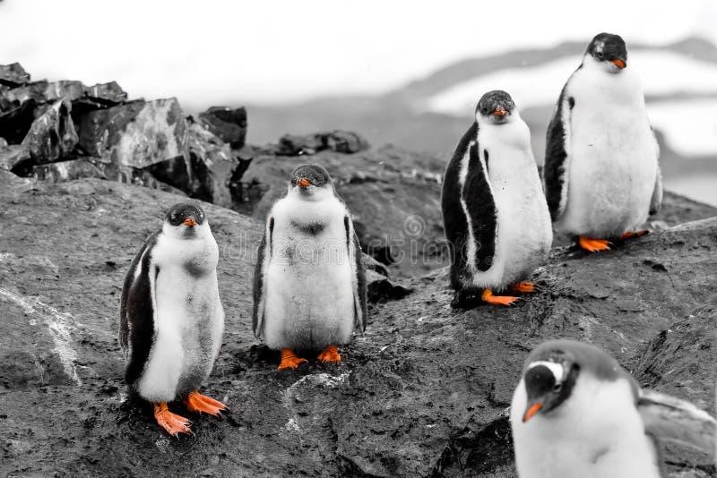 Download Groep pinguïnkuikens stock afbeelding. Afbeelding bestaande uit kaap - 54087789