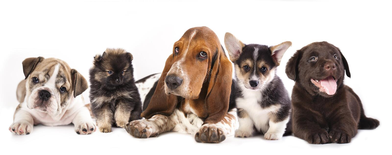 Groep Puppy stock foto's