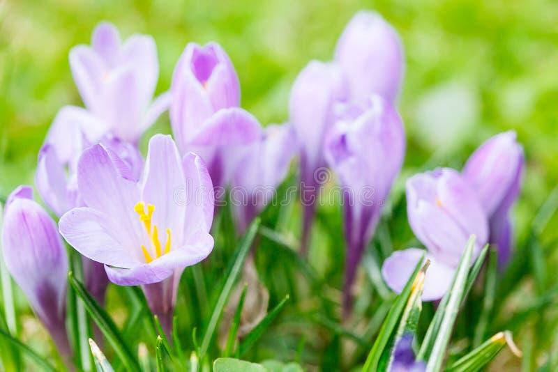 Groep Purpere krokus (sativus krokus) met selectieve/zachte focu royalty-vrije stock foto's