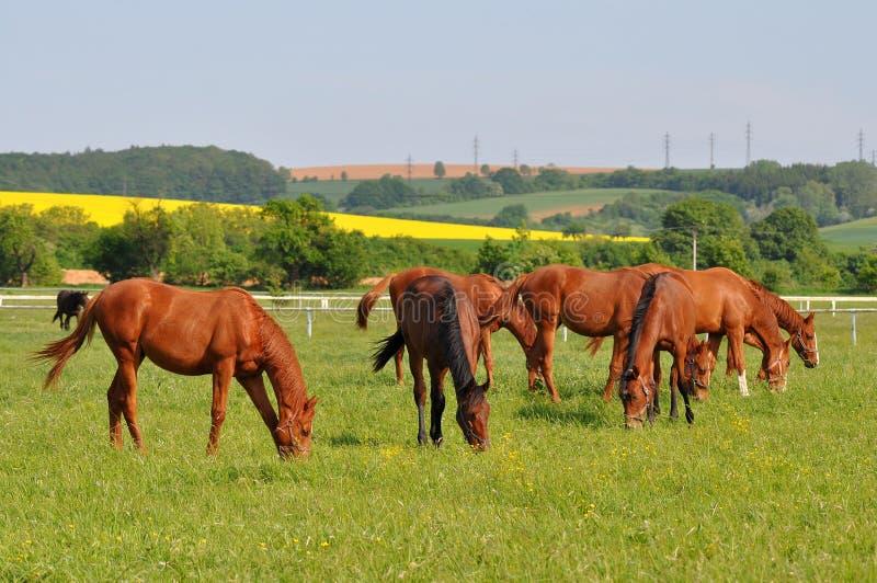 Groep rasechte paarden royalty-vrije stock afbeeldingen