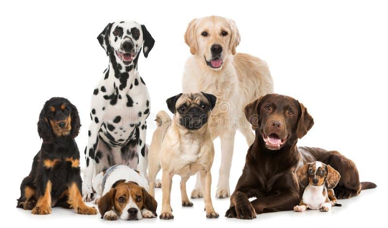 Groep rassenhonden stock foto