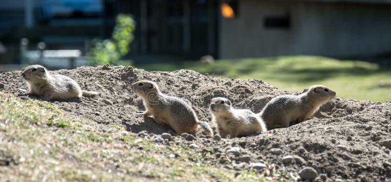 Groep Richardson Ground Squirrels royalty-vrije stock foto