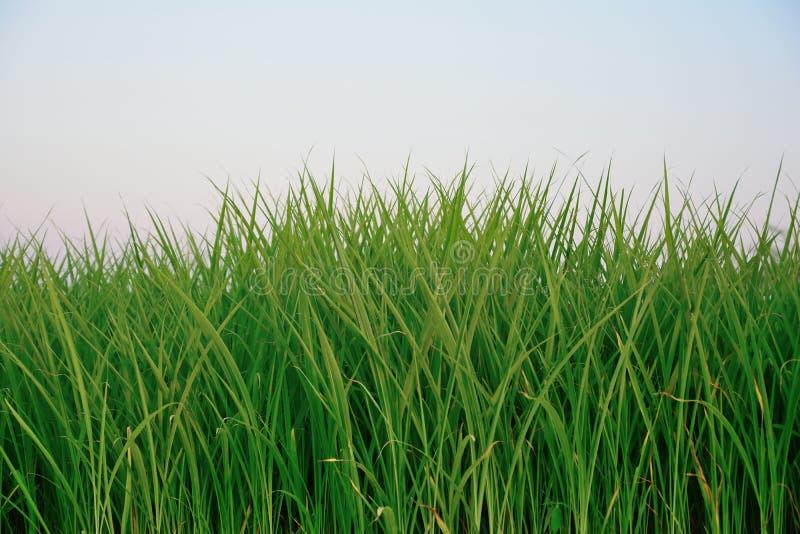 Groep rijstplanten, rijstveld met blauwe achtergrond stock fotografie