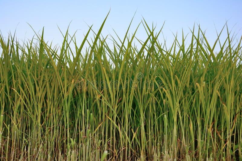 Groep rijstplanten, rijstveld met blauwe achtergrond royalty-vrije stock foto