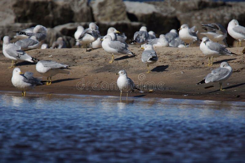 Groep ring-Gefactureerde Meeuwen op het strand royalty-vrije stock fotografie