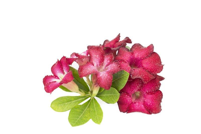 Groep rode azaleabloemen stock afbeelding