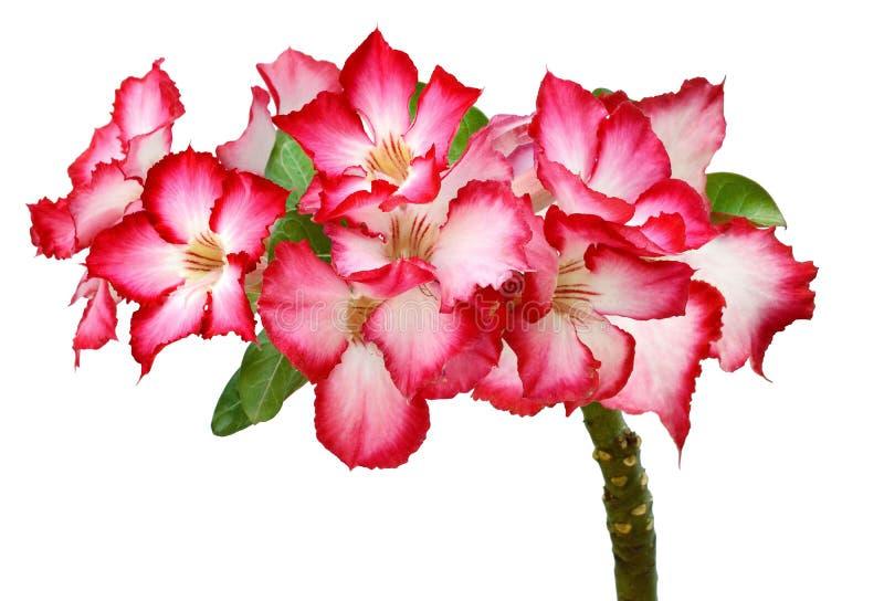 Groep rode azaleabloemen Heldere tuin, royalty-vrije stock foto's