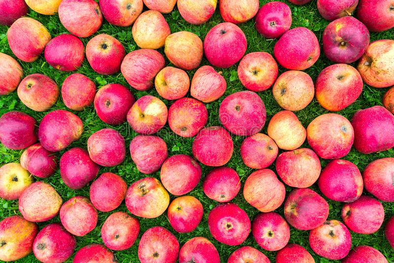 Groep rode gele appelen op gras stock afbeelding