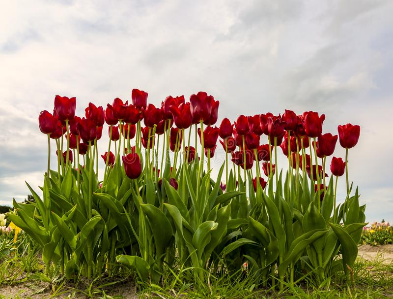 Groep rode tulpen royalty-vrije stock foto's