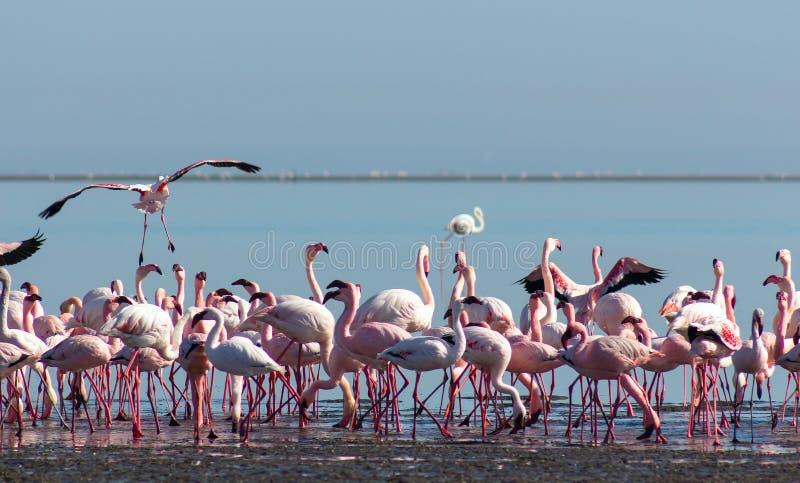 Groep roze flamingo's in de blauwe lagune op een zonnige dag royalty-vrije stock foto's