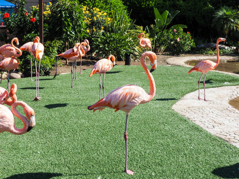 Groep roze flamingo's in het park stock afbeeldingen