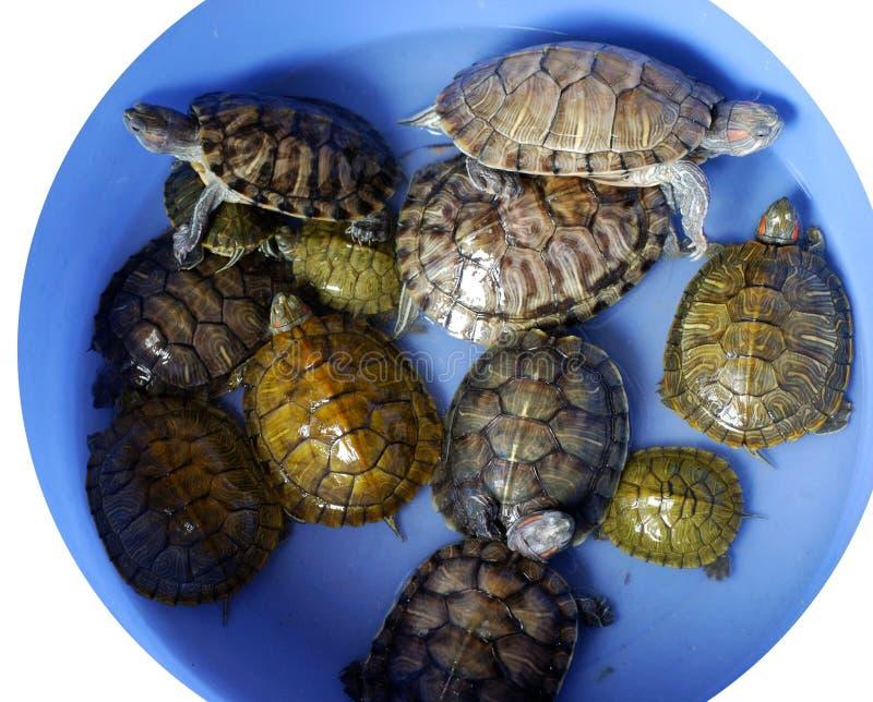 Groep schildpadden royalty-vrije stock afbeelding