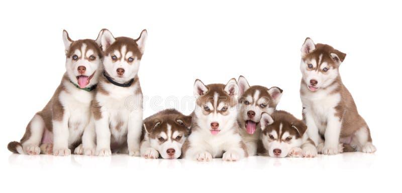 Groep Siberische schor puppy die op wit stellen royalty-vrije stock afbeeldingen