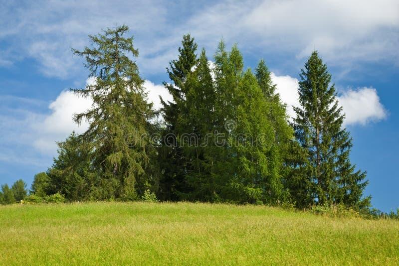 Groep sparren tegen blauwe bewolkte hemel stock foto's