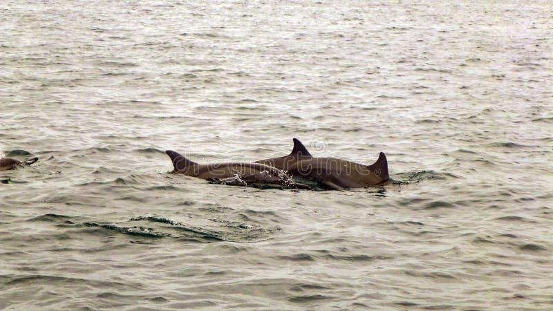 Groep Spinnerdolfijnen in de Maldiven stock foto