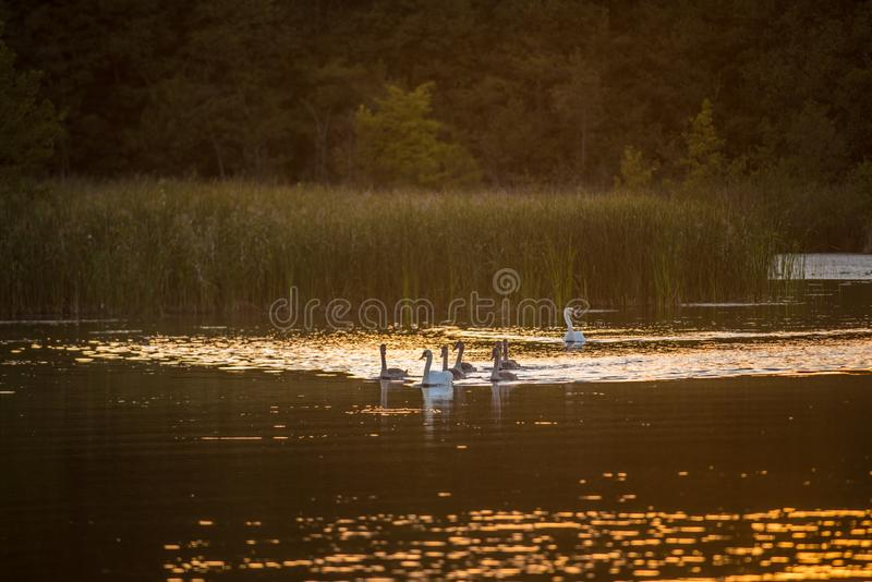 Groep stodde zwaanvogels in meer dichtbij bos stock afbeelding