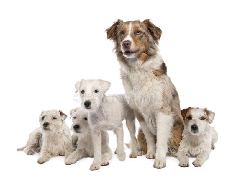 Groep van 4 Predikant Russell Terrier en een Australiër royalty-vrije stock fotografie
