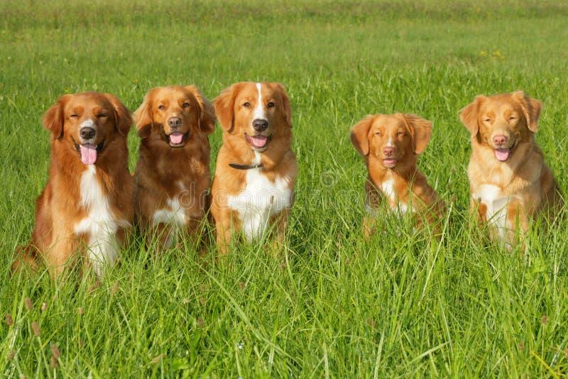 Groep van de scatiaeend van de hondennova de tolretriever stock afbeelding