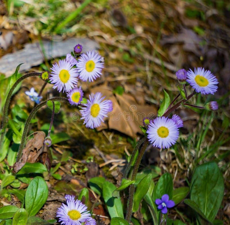 Groep van New England Aster, Symphyotrichum novea-angliea stock fotografie