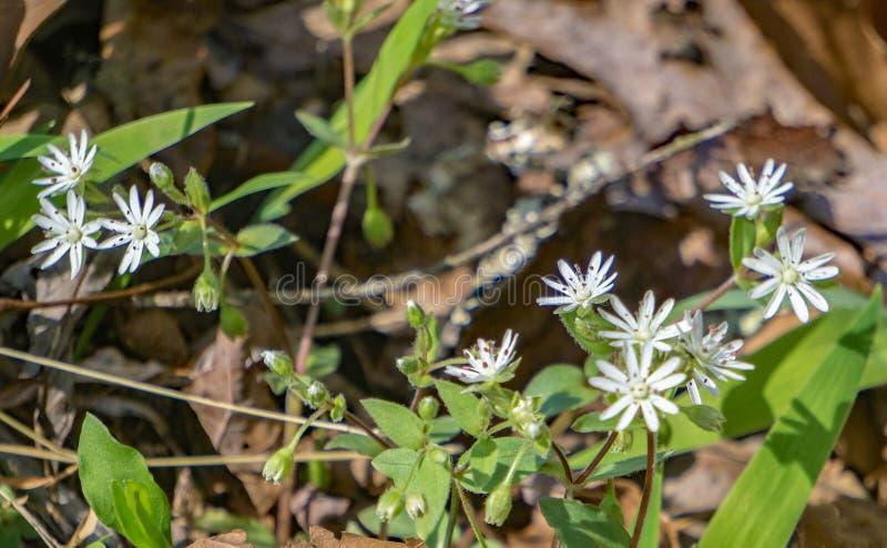 Groep van Star Chickweed, Stellaria pubera stock foto