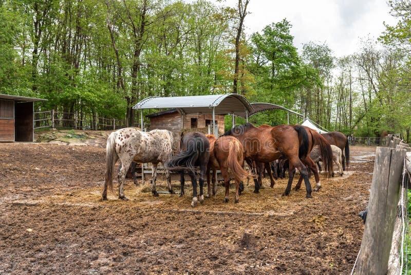 Groep verschillende paarden buiten het eten van hooi in een landbouwbedrijfstal stock afbeelding