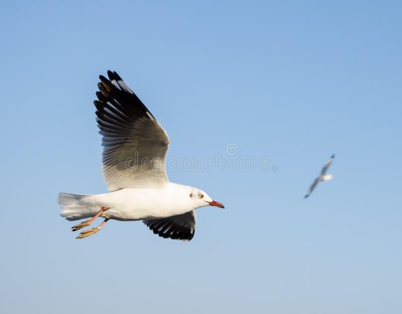 Groep vliegende zeemeeuw stock afbeelding