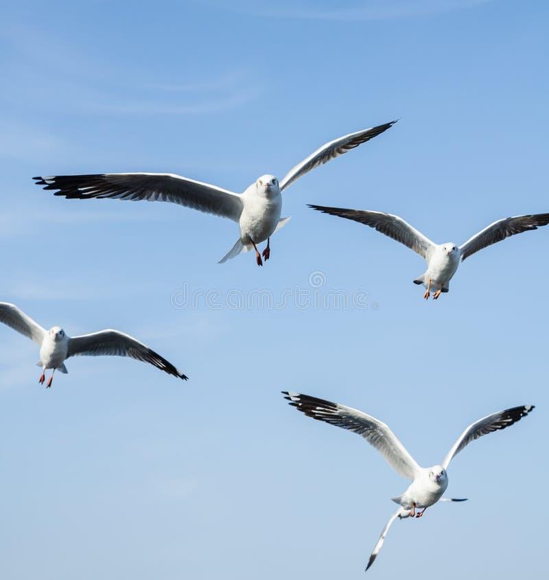 Groep vliegende zeemeeuw stock afbeeldingen