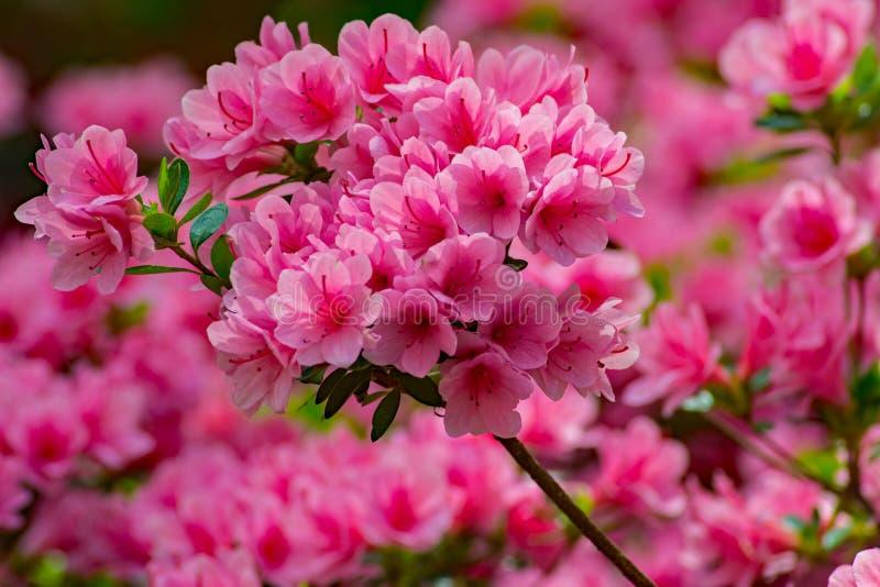 Groep Wilde Roze Azalea Flowers stock afbeeldingen