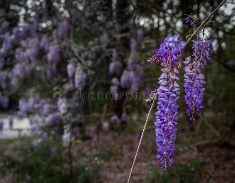 Groep wisteriabloemen die van boom hangen stock afbeelding