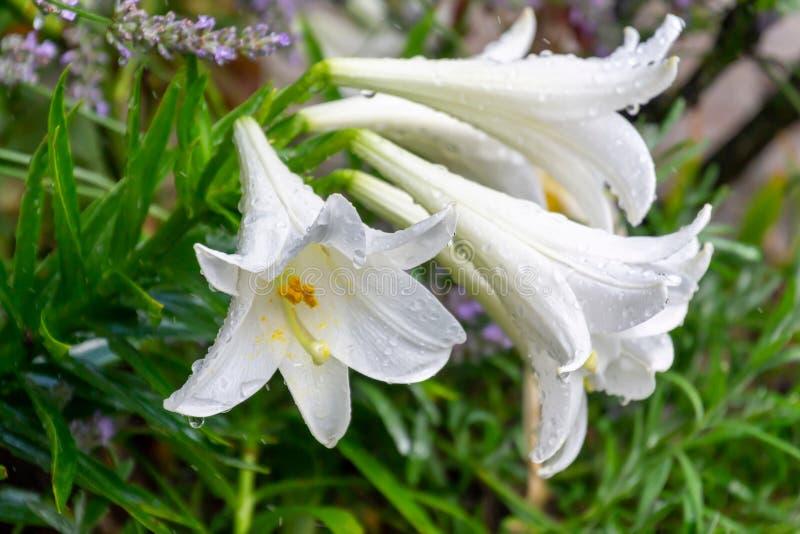 Groep witte die leliebloemen met regendruppels in de tuin worden behandeld royalty-vrije stock afbeeldingen