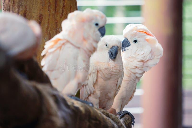 Groep witte papegaaien stock foto